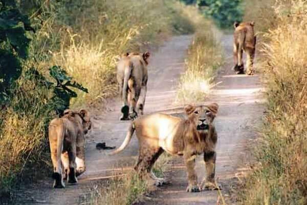 """Gir Forest National Park - Junagadh, Home of """"Asiatic Lions"""""""